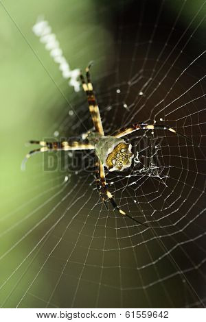 A pregnant spider buildind a web for trapping insects.