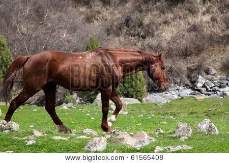 Wild horse in the mountains of Kyrgyzstan