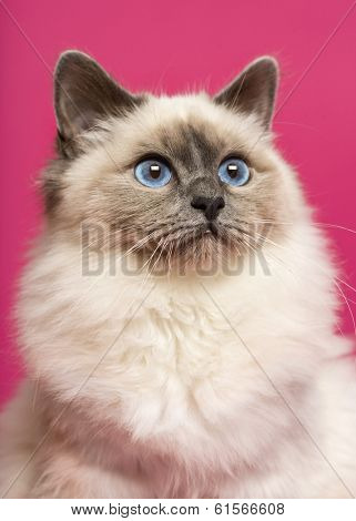 Close-up of a Birman cat, looking up, on pink background