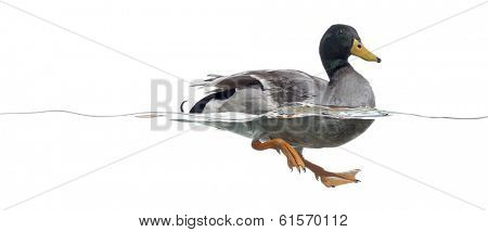 Side view of a Mallard floating on the water, Anas platyrhynchos, isolated on white