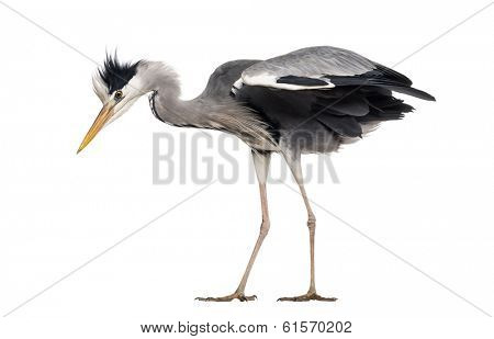 Side view of a Grey Heron, standing, looking down, Ardea cinerea, isolated on white