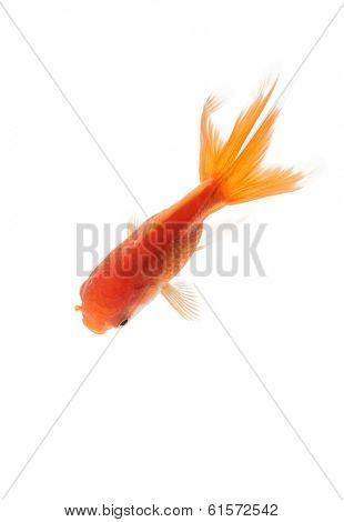 Close up of yellow fish swimming in fishbowl, isolated on white. Concept of wild nature and environment