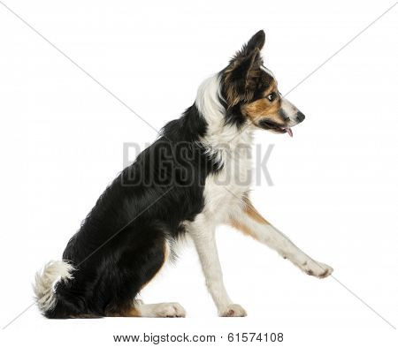 Side view of a Border collie pawing up, obeying, isolated on white