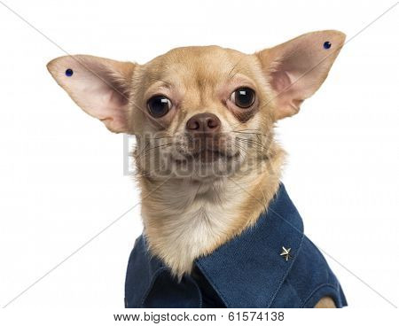 Close-up of a dressed-up Chihuahua wearing earrings, looking at the camera, isolated on white