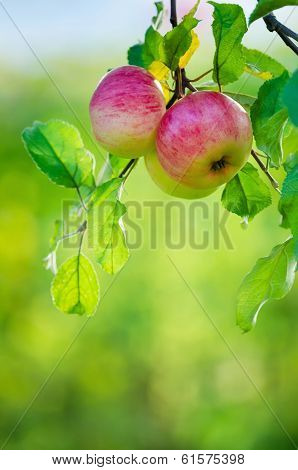 Apples on a tree branch