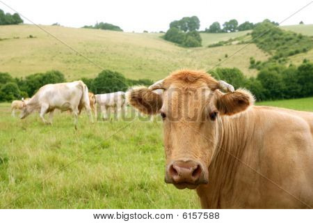 Beige Cows Cattle  Eating In Green  Meadow