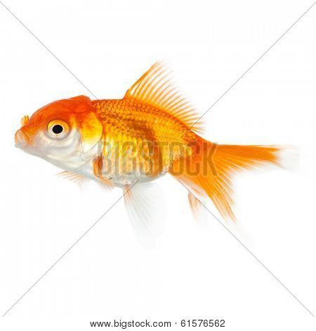 Close up of swimming yellow fish, isolated on white. Concept of wishes fulfilment and natural beauty