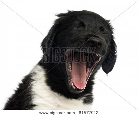 Close-up of a Stabyhoun puppy yawning, isolated on white