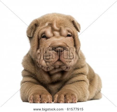 Front view of a Shar Pei puppy lying, isolated on white