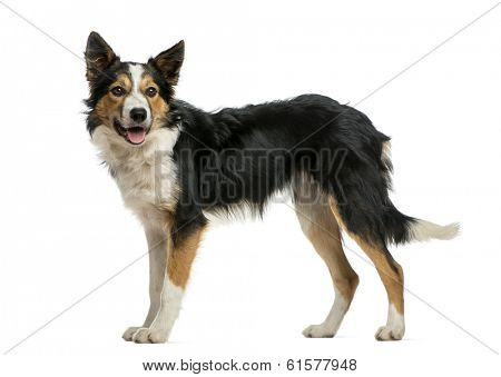 Border collie standing, panting, isolated on white
