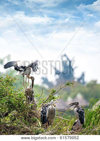 Family Of Marabou Stork