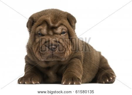Shar Pei puppy lying down, isolated on white