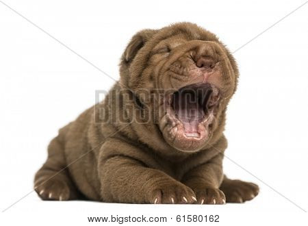 Shar Pei puppy lying down, yawning, isolated on white