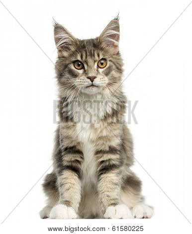 Front view of a Maine Coon kitten sitting, looking at the camera, 4,5 months old, isolated on white