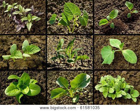 set of seedlings growing on vegetable beds