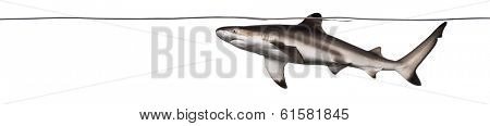 Blacktip reef shark swimming at the surface of the water, Carcharhinus melanopterus, isolated on white