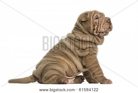 Side view of a Shar Pei puppy sitting, isolated on white