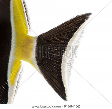 Close-up of a Pennant Coralfish's caudal fin, Heniochus acuminatus, isolated on white