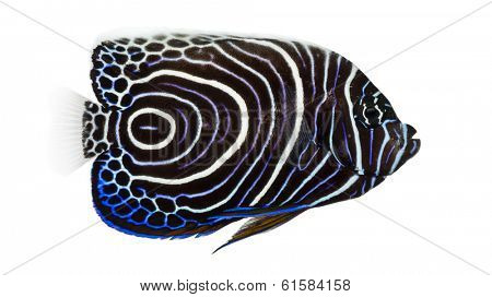Side view of an Emperor Angelfish, Pomacanthus imperator, isolated on white
