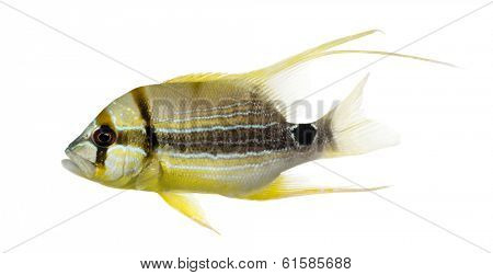 Side view of a Sailfin Snapper, Symphorichthys spilurus, isolated on white