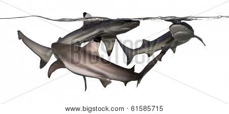 Three Blacktip reef sharks swimming at the surface of the water, Carcharhinus melanopterus, isolated on white