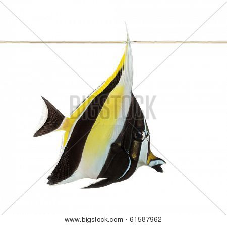 Side view of a Pennant Coralfish swimming under water line, Heniochus acuminatus, isolated on white