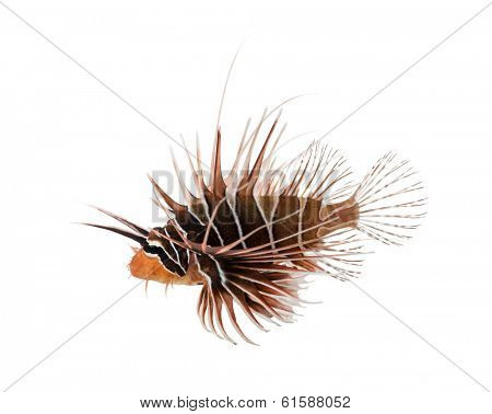 Side view of a Broadbarred firefish, Pterois antennata, isolated on white