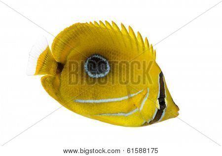 Side view of a Bluelashed butterflyfish, Chaetodon bennetti, isolated on white.
