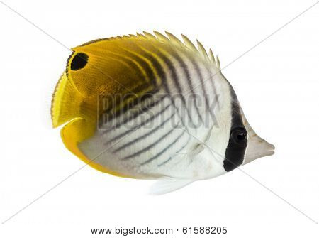 Side view of a Threadfin Butterflyfish, Chaetodon auriga, isolated on white
