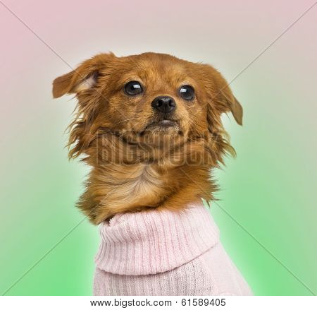 Close-up of a Dressed-up Mixed-breed Chihuahua, 10 months old, on bicolor background