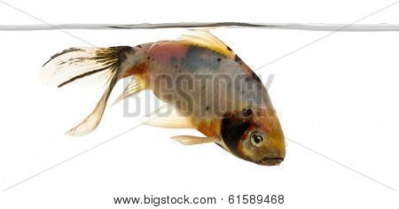 Shubunkin swimming under water line, Carassius auratus, isolated on white