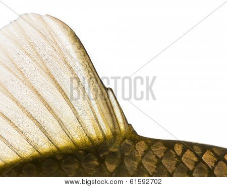 Close-up of a Crucian carp caudal fin, Carassius carassius, isolated on white