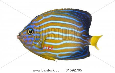 Side view of a Northern Angelfish, Chaetodontoplus septentrionalis, isolated on white