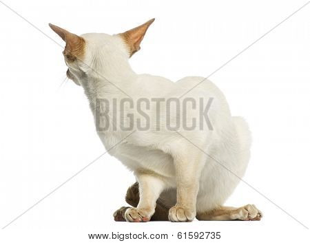 Siamese cat hiding, looking back, 8 months old, isolated on white