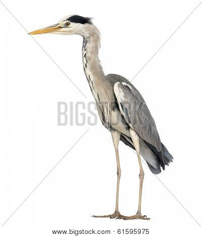 Side view of an Grey Heron standing, Ardea Cinerea, 5 years old, isolated on white