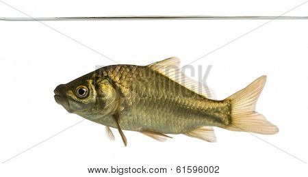 Crucian carp swimming under water line, Carassius carassius, isolated on white