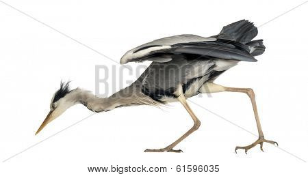 Side view of an Grey Heron looking down, curious, Ardea Cinerea, 5 years old, isolated on white
