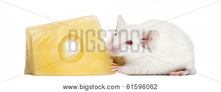 Common house mouse eating cheese, Mus musculus, isolated on white