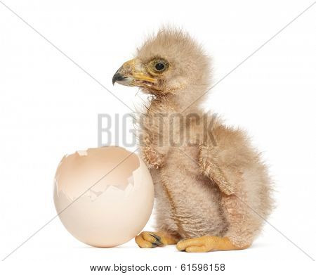Young Harris's Hawk next to the egg from which he hatched out, 3 days old, isolated on white