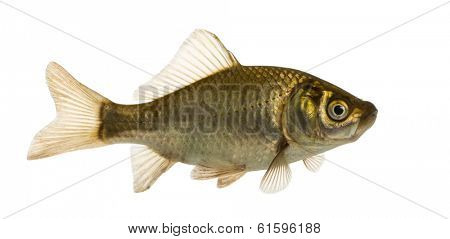 Crucian carp swimming, Carassius carassius, isolated on white