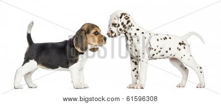 Side view of Dalmatian and Beagle puppies getting to know, isolated on white