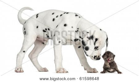 Side view of a Dalmatian puppy sniffing a kitten meowing, isolated on white