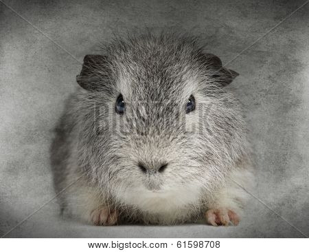 Front view of a Swiss Teddy Guinea Pig facing, looking at the camera, on grey background