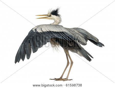 Rear view of an Grey Heron flapping its wings, Ardea Cinerea, 5 years old, isolated on white