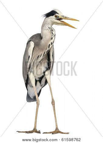 Angry Grey Heron screaming, Ardea Cinerea, 5 years old, isolated on white