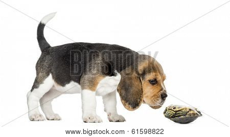Side view of a Beagle puppy sniffing a turtle lying on its back, isolated on white