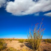 pic of ocotillo  - Ocotillo Fouquieria splendens red flowers in Mohave desert california USA - JPG