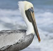 Brown Pelican,Close Up Shot
