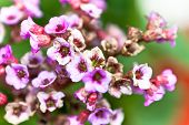 Mauve flowers origanum in the garden