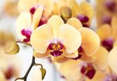 stock photo of yellow orchid  - Beautiful yellow orchid flowers in the garden - JPG